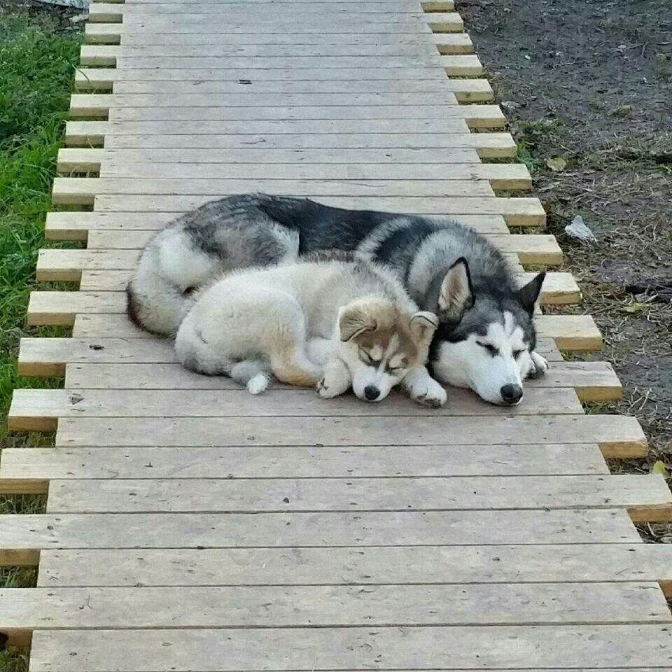 How cute is this!? Siberian husky, Malamute husky, Husky