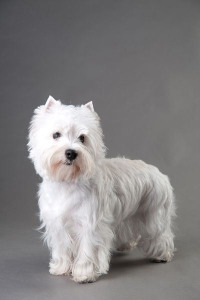 West Highland White Terrier Dog Breeds West Highland White