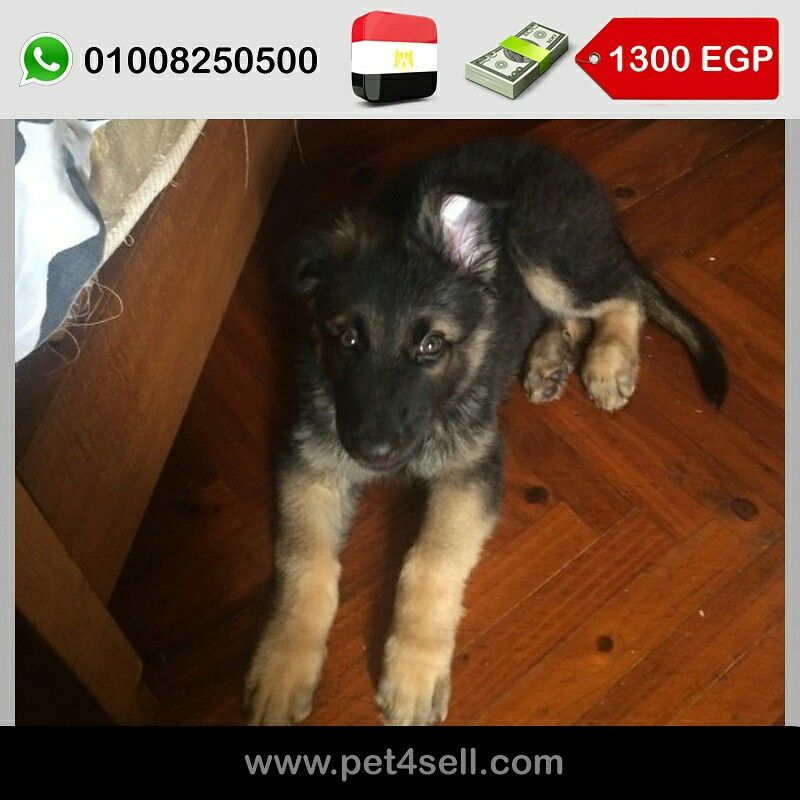 Egypt Alexandria German Shepherd 2 Males And 1 Female 70 Days Old For More Details Send Email Or Call Pet4sell German Shepherd Dogs Egypt