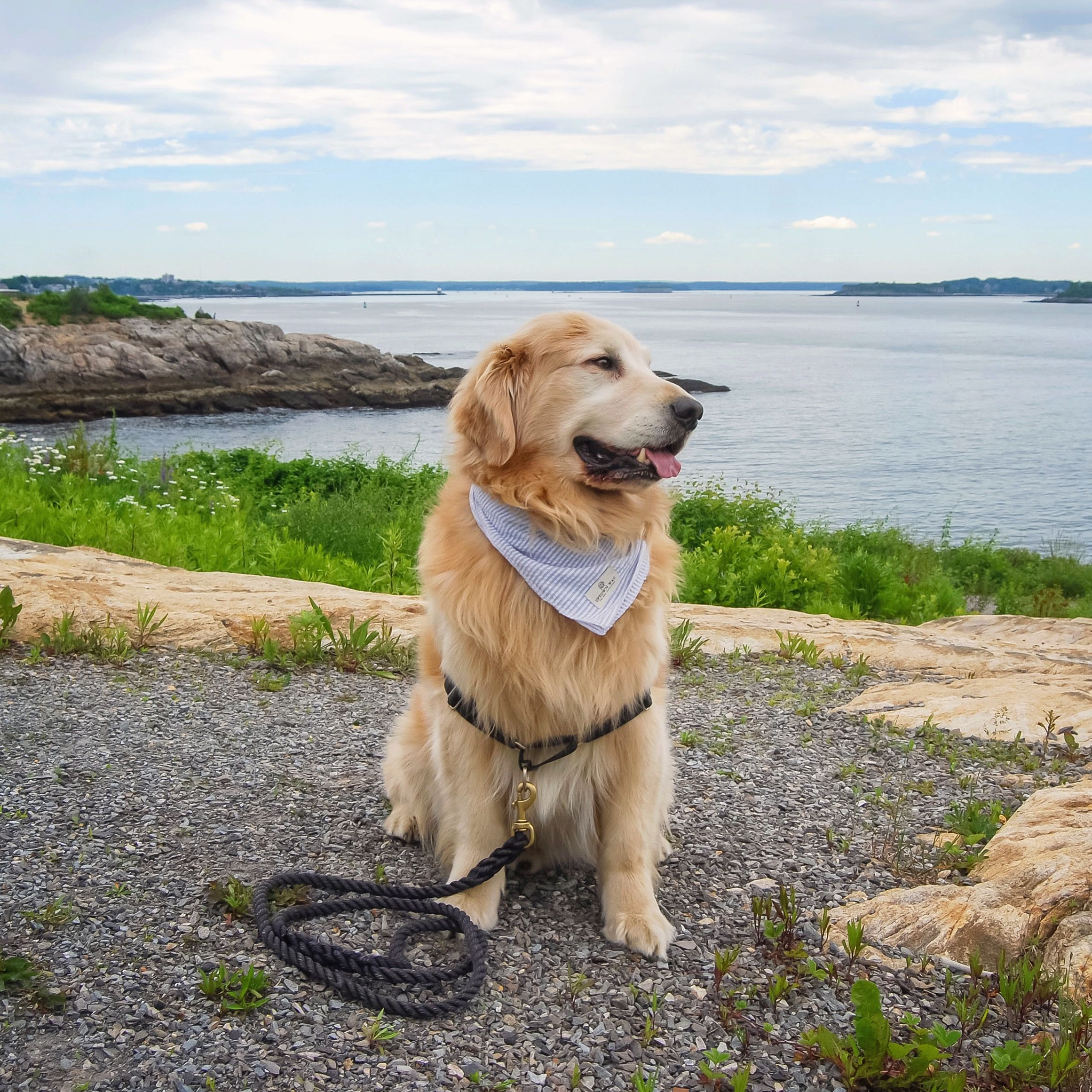 Golden retriever puppa_tavish enjoying a beautiful day in