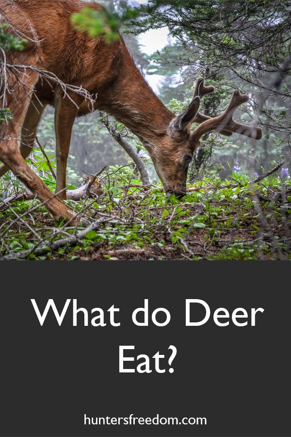 What do Deer Eat? What do deer eat, Animal eating, Deer