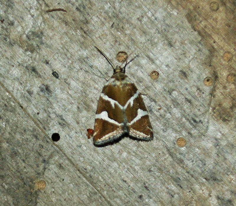 In Deutschland Gibt Es Uber 3700 Arten Von Schmetterlingen In Form Von Tagfalter Nachtfalter Und Kleinschmetterlin In 2020 Schmetterling Weihnachtsschmuck Nachtfalter