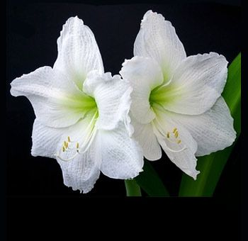 White Amaryllis Flower Amaryllis Flowers White Flowers Different Types Of Flowers