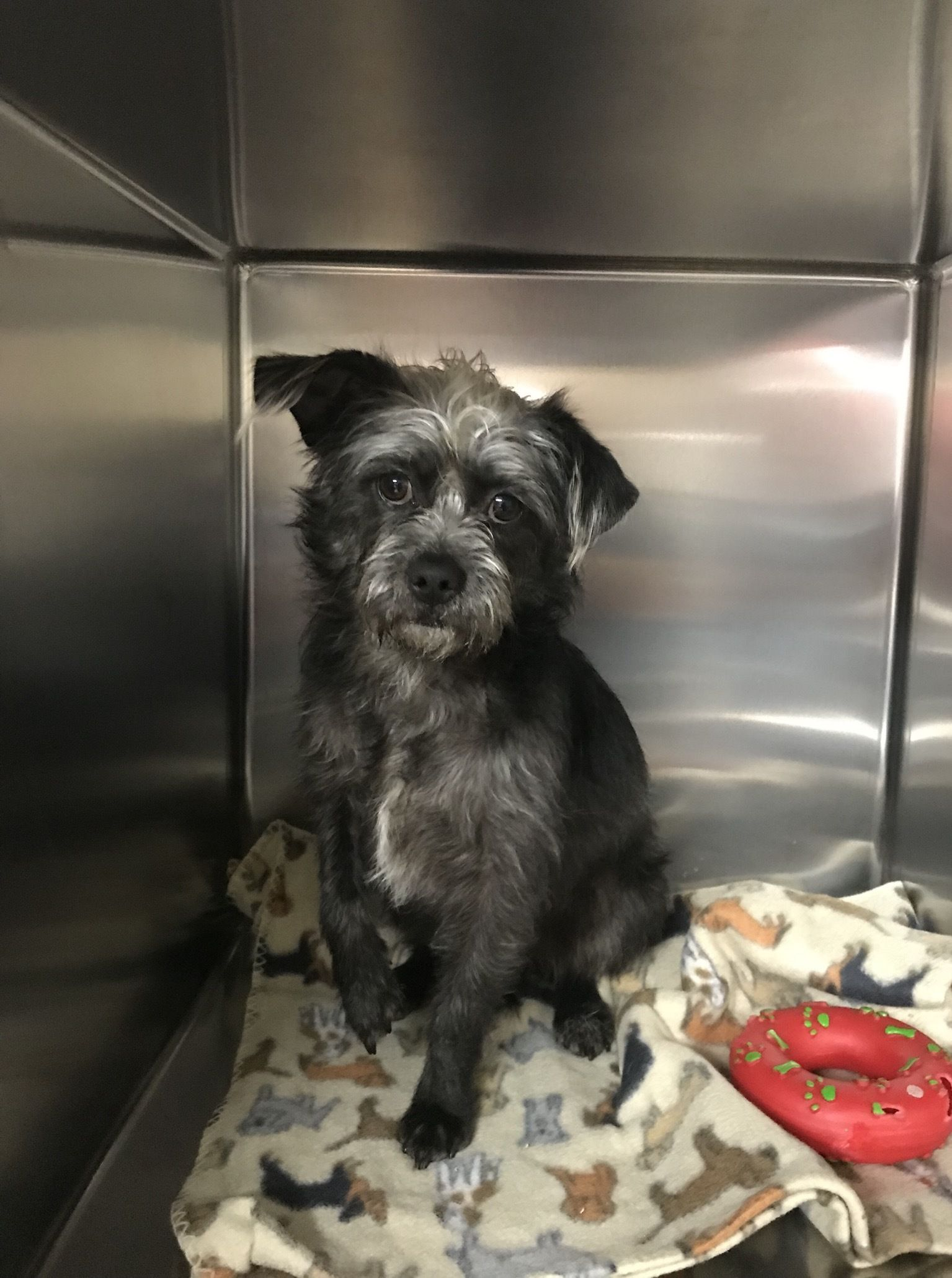 Adopt Phoebe On Pet Adoption Adoption Cairn Terrier Mix