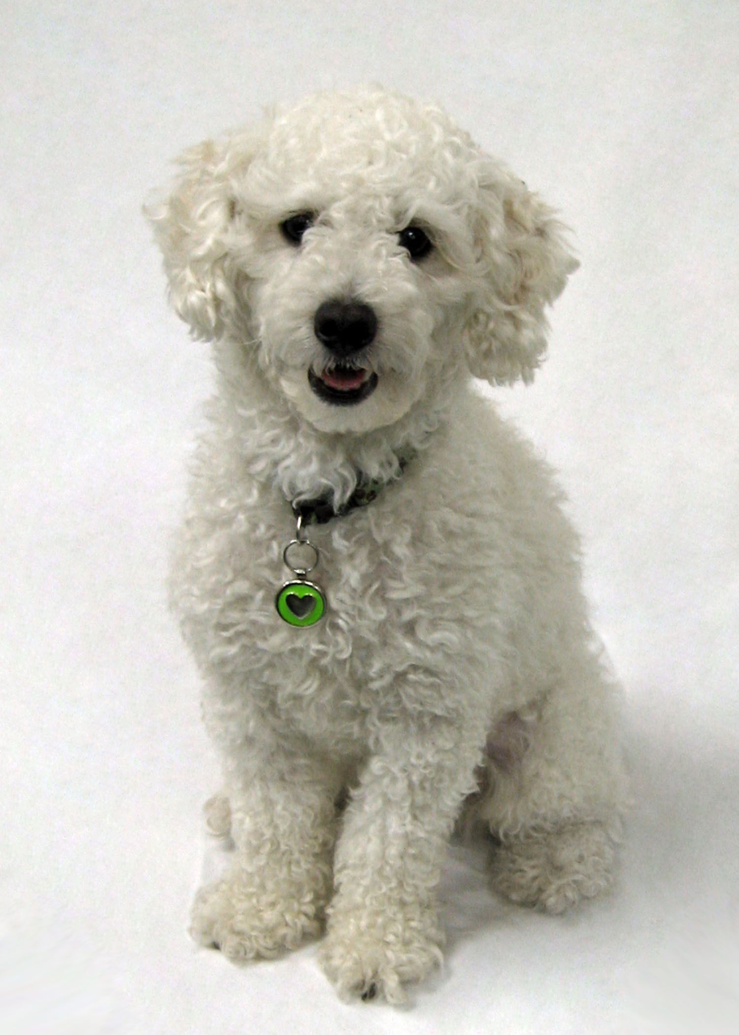 Looks Like My Dog Rylee Bichon Poodle Mix Poochon This