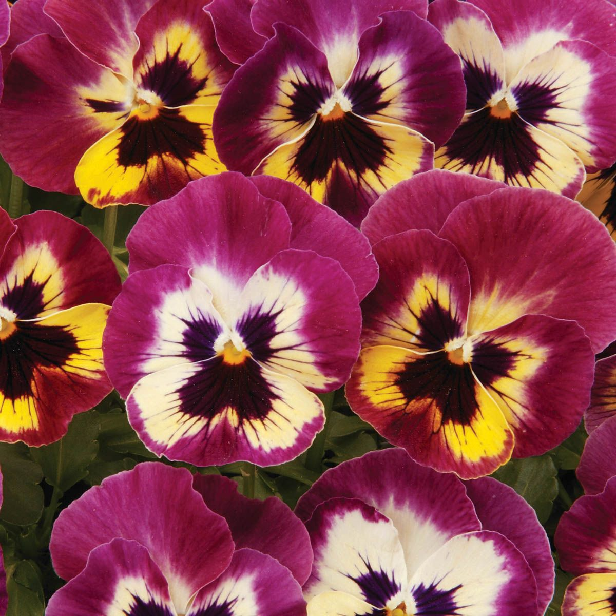Picture Packet Flower 40 Seed Large Flower Mix Pansy Kings Seeds