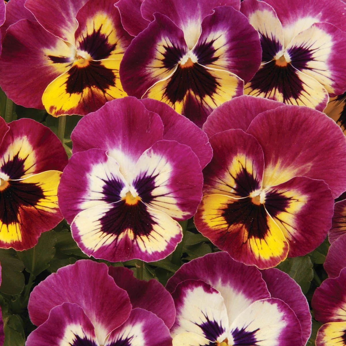 Pansy Panola Rose Picotee F1 Hybrid (Viola wittrockiana