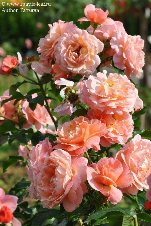image result for 39 marie curie 39 rose flowers bush grass landscape pinterest marie curie. Black Bedroom Furniture Sets. Home Design Ideas