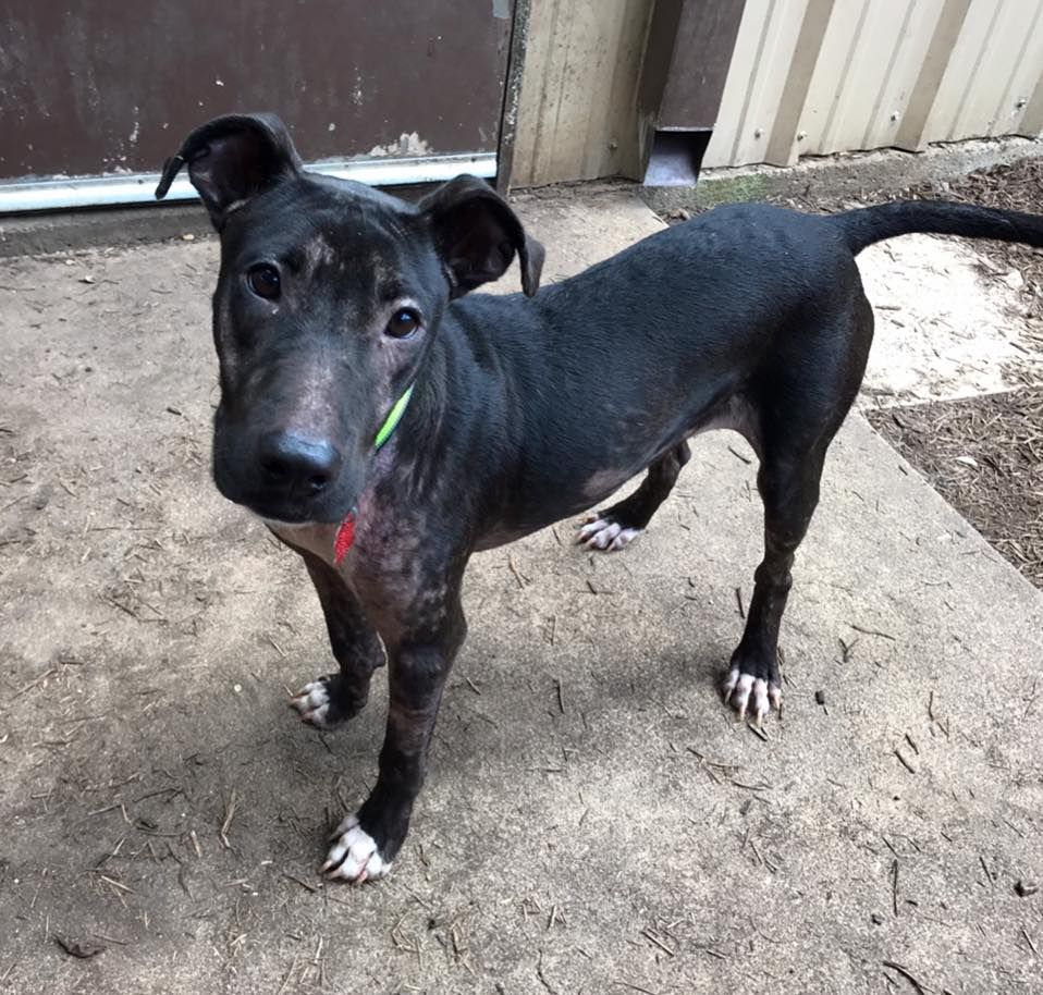 LabPointer dog for Adoption in Houston, TX. ADN634370 on