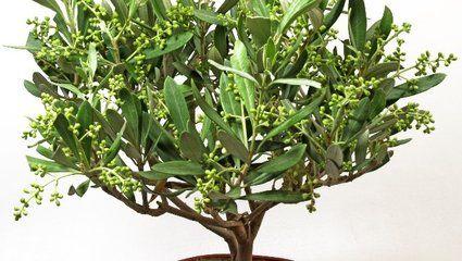Vidéo : tailler un olivier - M6 | Entretien de jardins | Garden ...