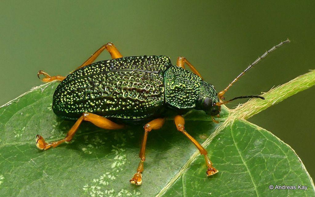 Leaf beetle, Callicolaspis sp., Chrysomelidae Leaf