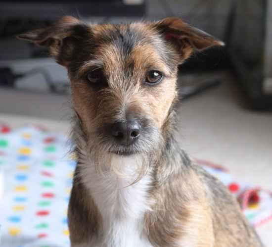 Dd 504 Norjack Norfolk Terrier Jack Russell Terrier
