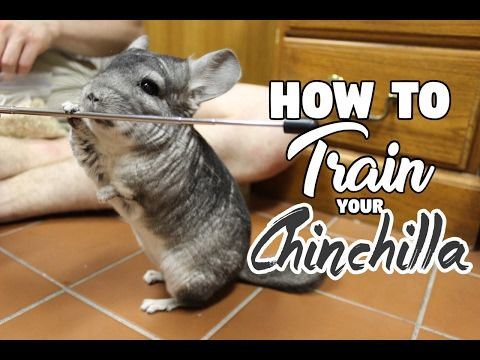 1 Hour Of Relaxing Music For Cheeky Chinchillas Chinchilla Music Pet Music Youtube Chinchilla Pet Chinchilla Toys Classroom Pets