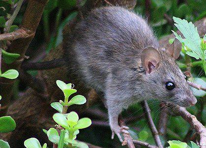 Bush Rat Bush Rat Animals Rats