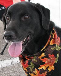 Adopt Sophie On Labrador Retriever Rescue Retriever Puppy