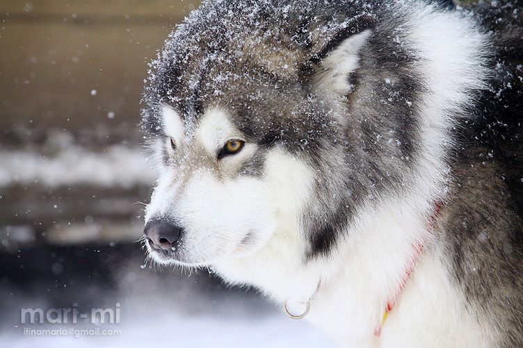 Alaskan Malamut By Mari Mi On Deviantart Alaska Dog Cute Husky Puppies Husky Dog Names