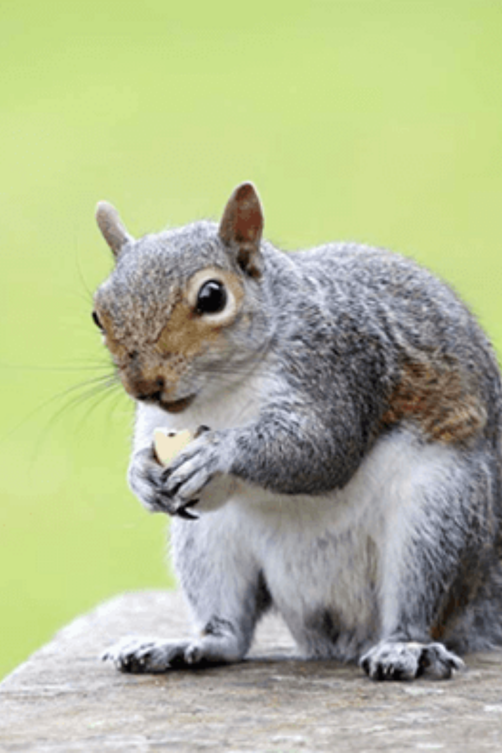 How to Attract Squirrels in 2020 (With images) Squirrel
