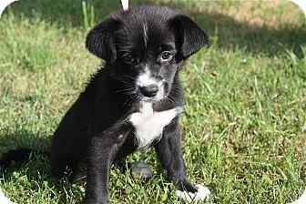 Conway Ar Border Collie Labrador Retriever Mix Meet Annie A