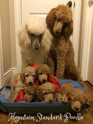 Standard Poodle Family Standardpoodle Poodle Puppy Standard