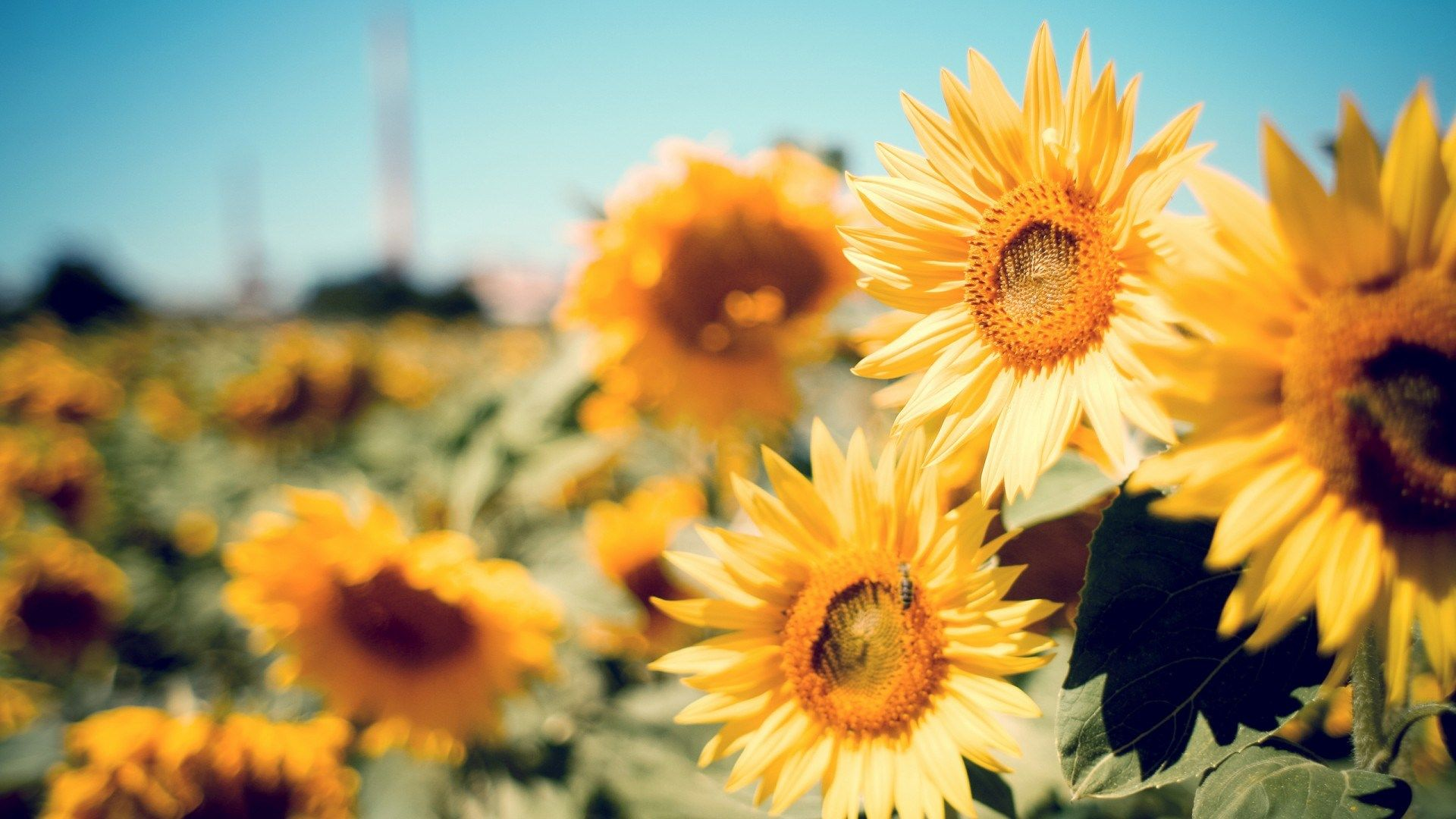 sunflower photography wallpaper free