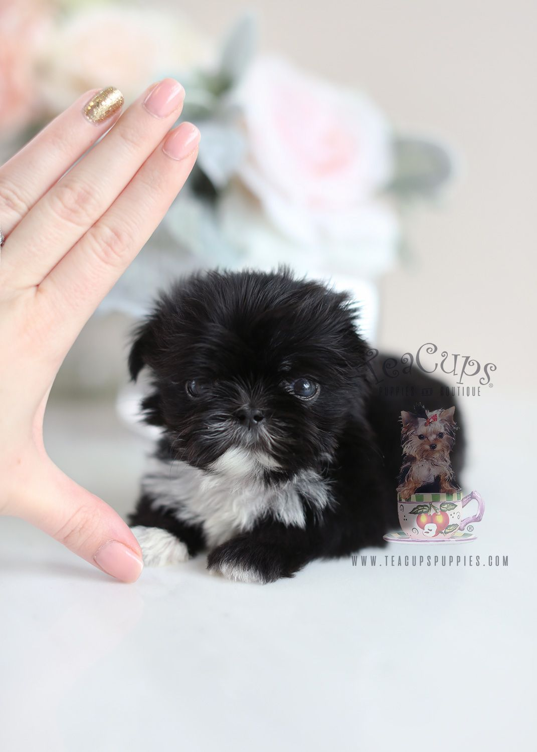 Imperial Shih Tzu By Teacup Puppies Boutique Locally Bred And