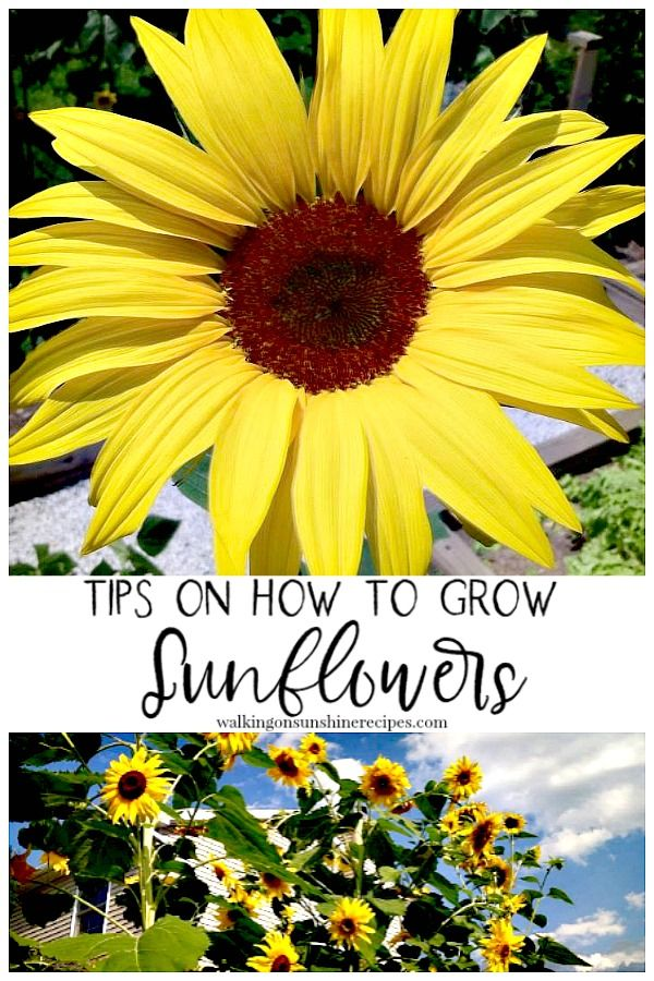 5 Tips on How to Grow Sunflowers in your Garden is part of Growing sunflowers, Sunflower garden, Planting sunflowers, Low maintenance garden, Succulents garden, Potted sunflowers - 5 Tips on How to Grow Sunflowers that have worked for our garden year after year  Sunflowers are not hard to grow at all and add so much to any garden!