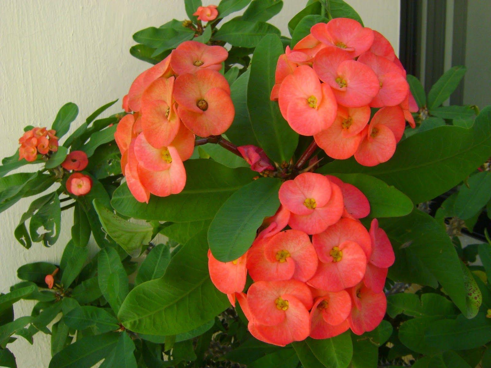 Corona De Espinas - Floración Todo El Año