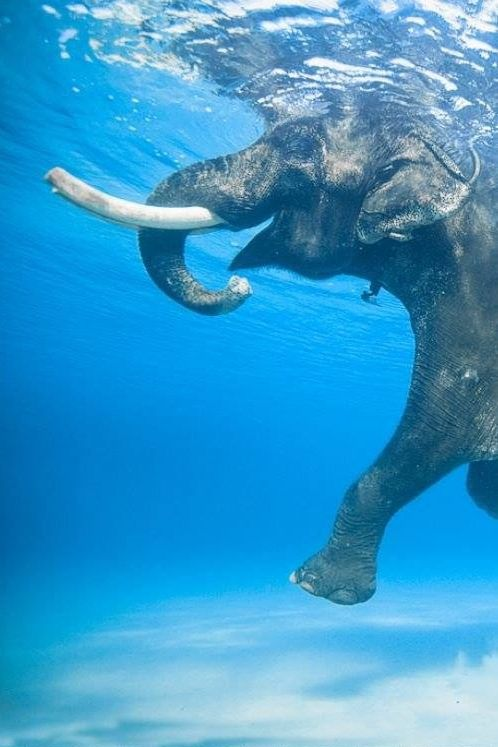 Swimming Elephant