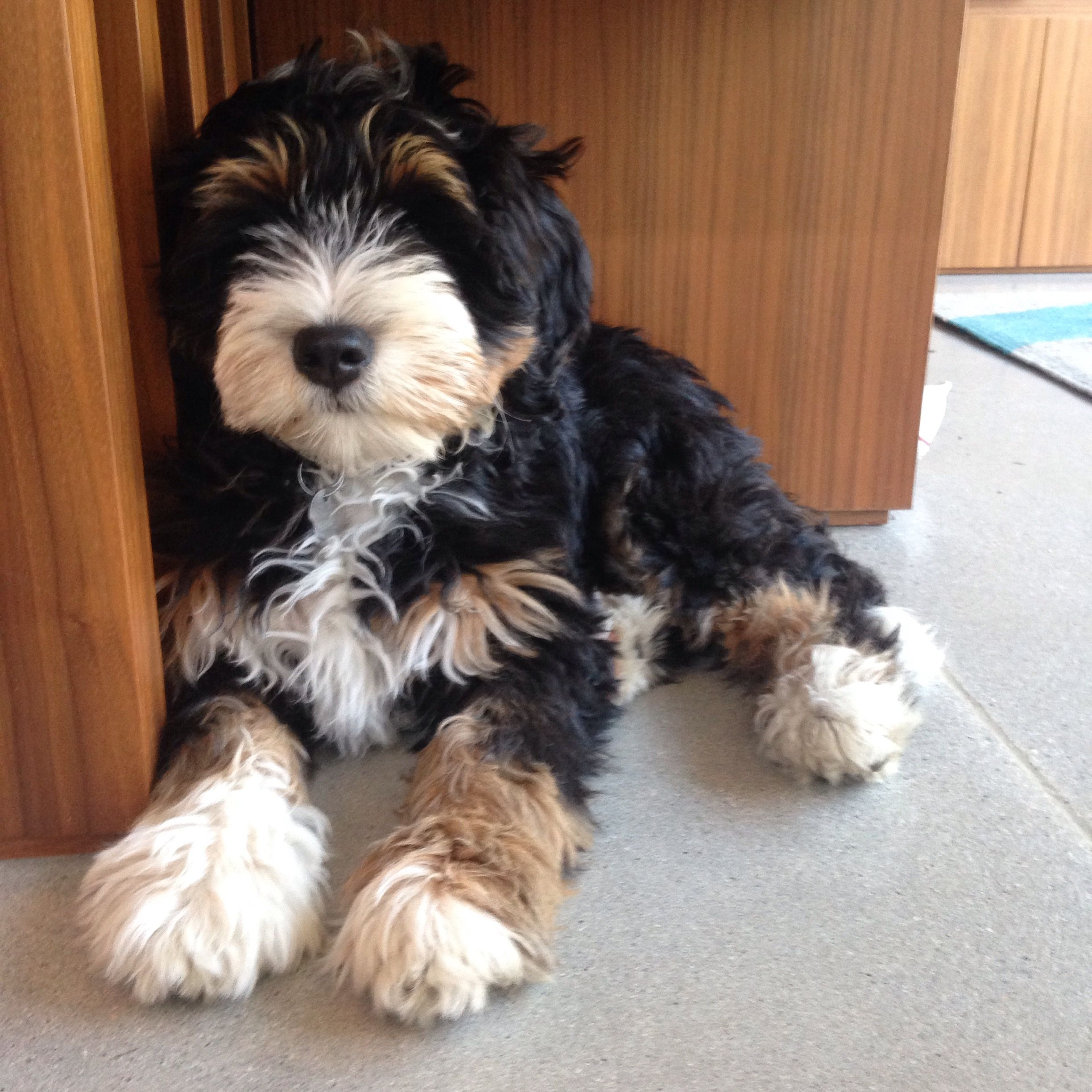 Tri Colour Bernedoodle Gracie Cute Dogs Dogs Baby Animals