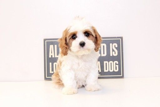 Cavapoo Puppy For Sale In Naples Fl Adn 32968 On Puppyfinder Com
