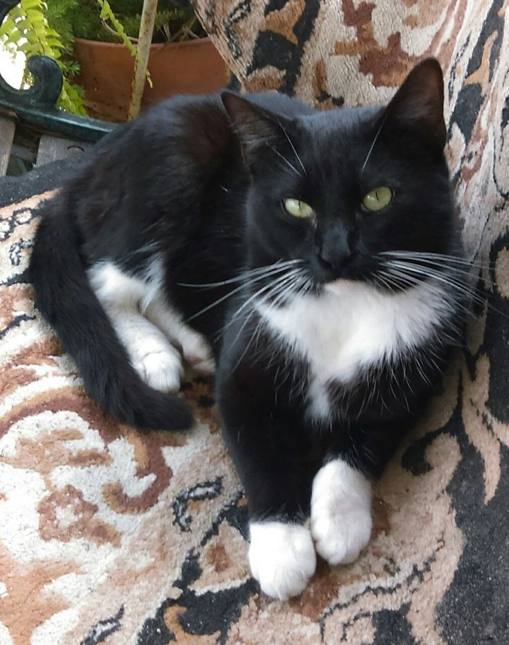 Tuxedo Cat Facts and personality. Tuxedo cats are very