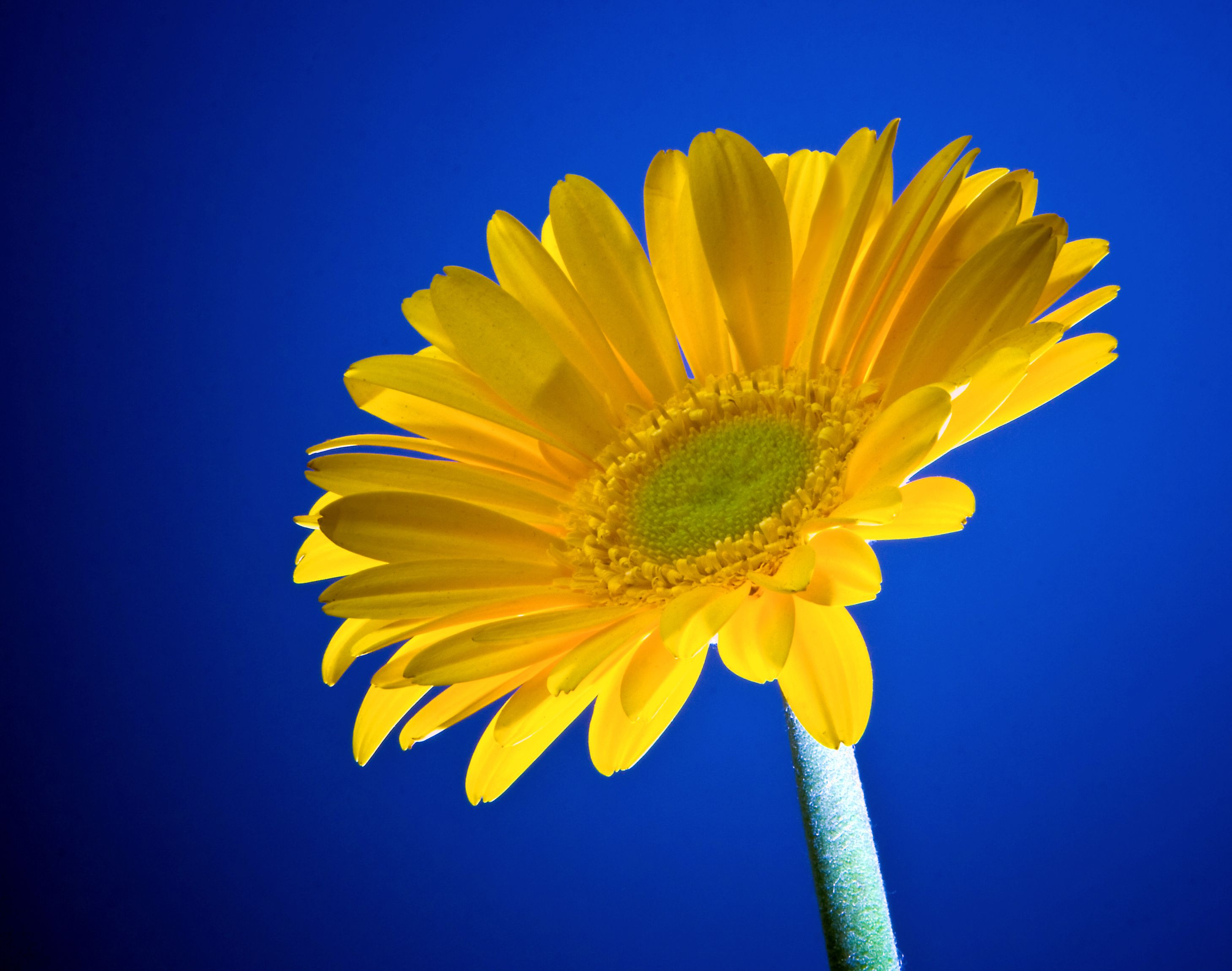 Yellow Gerbera Daisy Wgreen Center Yellow Flowers Pinterest