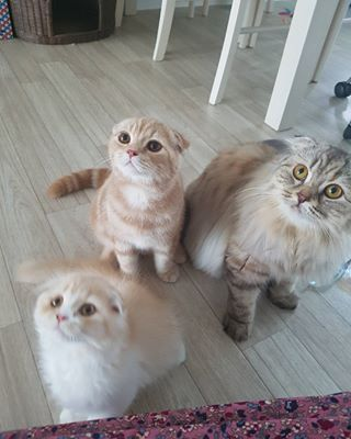 Even dog-lovers couldn't say no to these kitties. | 19 Reasons Scottish Fold Cats Are A Gift We Do Not Deserve