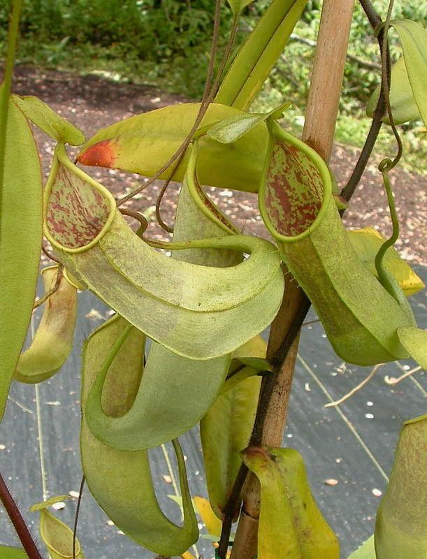 Leilani 10 S Image Carnivorous Plants Tropical Plants Pitcher Plant