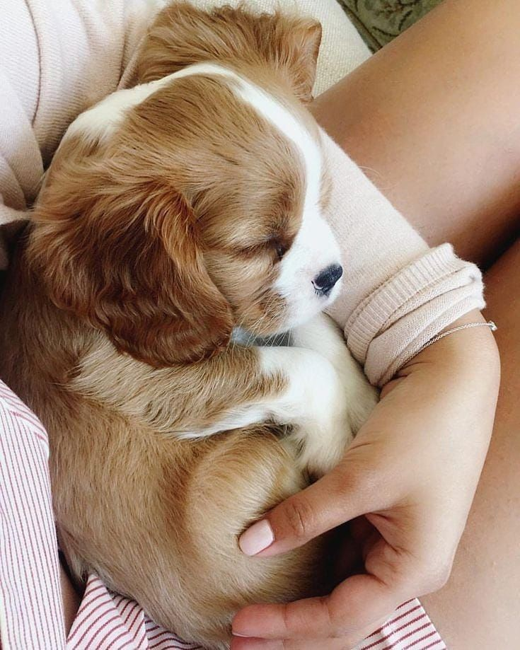 Photo of Puppies King Charles Cavalier Spaniel ` Puppies King Charles