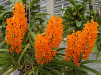 29 Species Of Orchids Are Protected By Indonesian Government