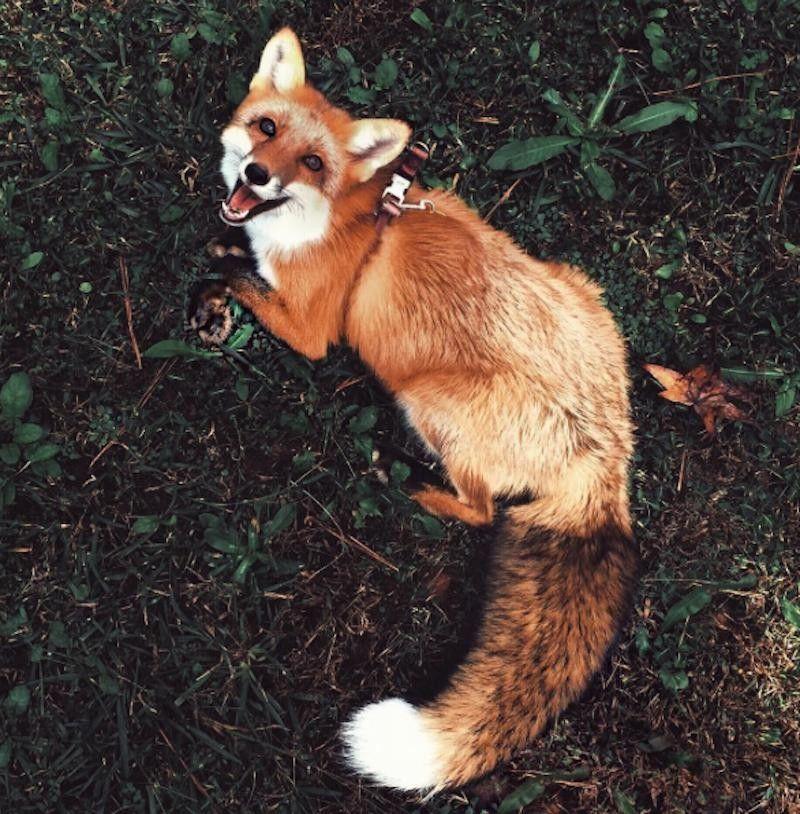 Meet Juniper Orange Pet Fox T Stop Smiling Click Of