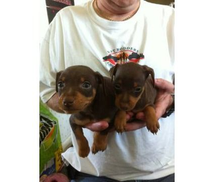 Akc Miniature Pinschers 2 Males Chocolate Tan Is A Brown Male