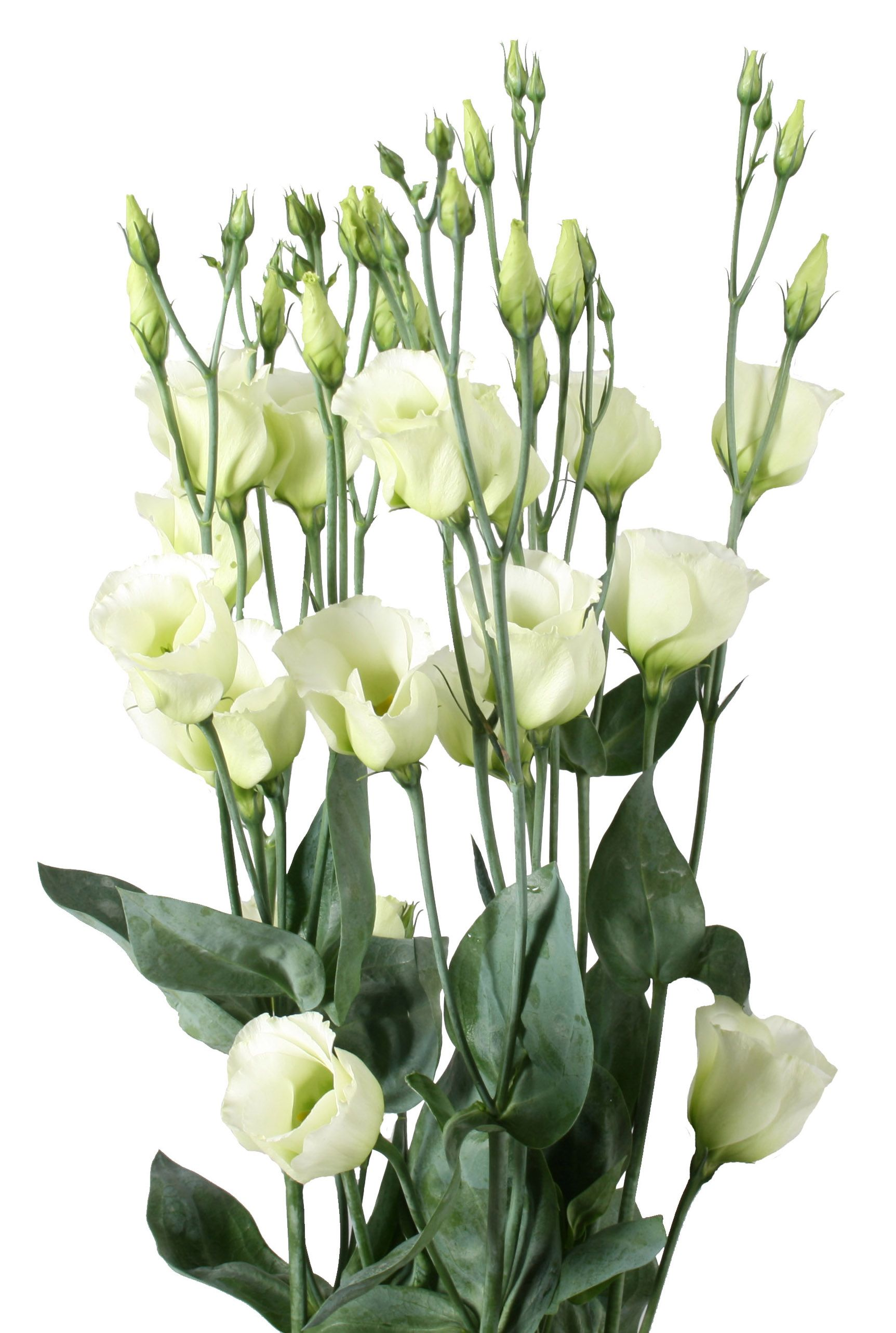 Piccolo Green Lisianthus Eustoma Pinterest Flowers Beautiful