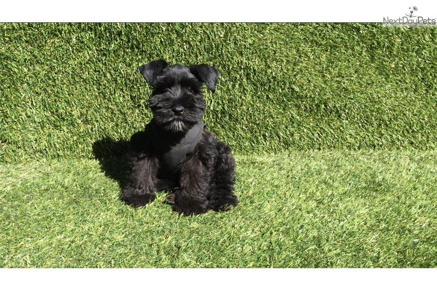 Schnauzer, Miniature puppy for sale near San Diego