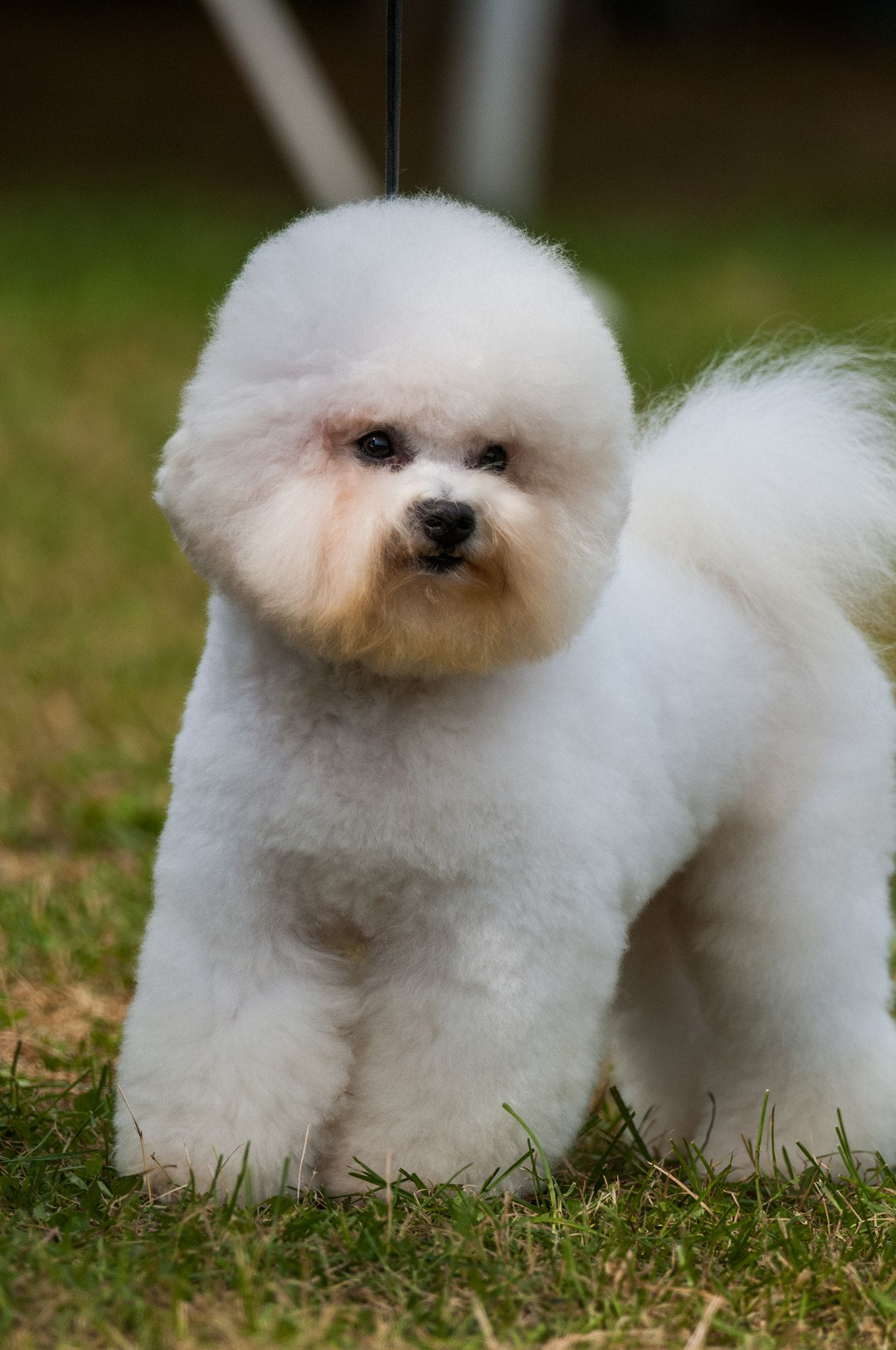Bichon Frise Bichon Frise Showing At Hickories Circuit Dog Show In Upstate Ny In 2020 Bichon Frise Unique Dog Breeds Bichon