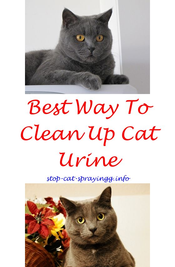 Cat Pee Out Of Carpet Hydrogen Peroxide | Cat Urine, Remove Cat Urine And Cat  Urine Smells