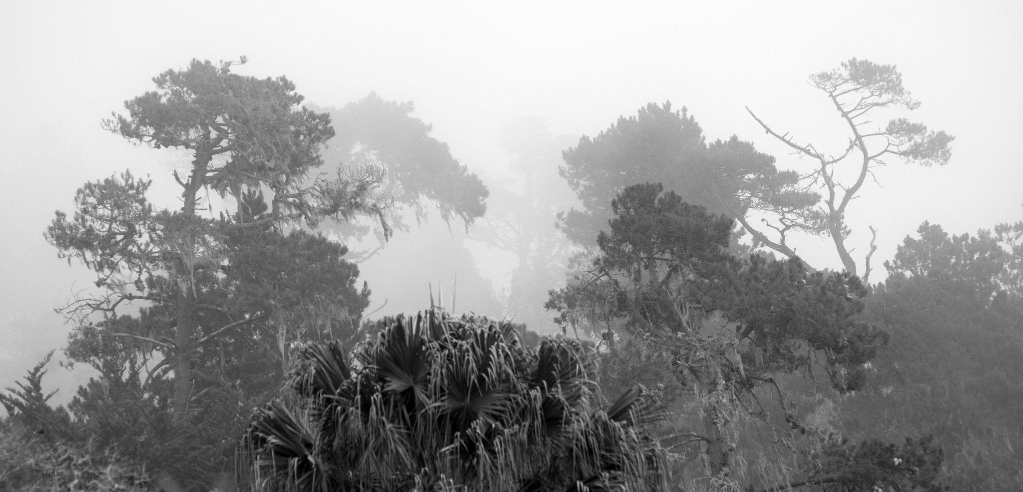 Foggy Pines II - Pines in fog