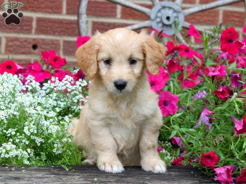 Tulip, Mini Goldendoodle puppy for sale from Quarryville