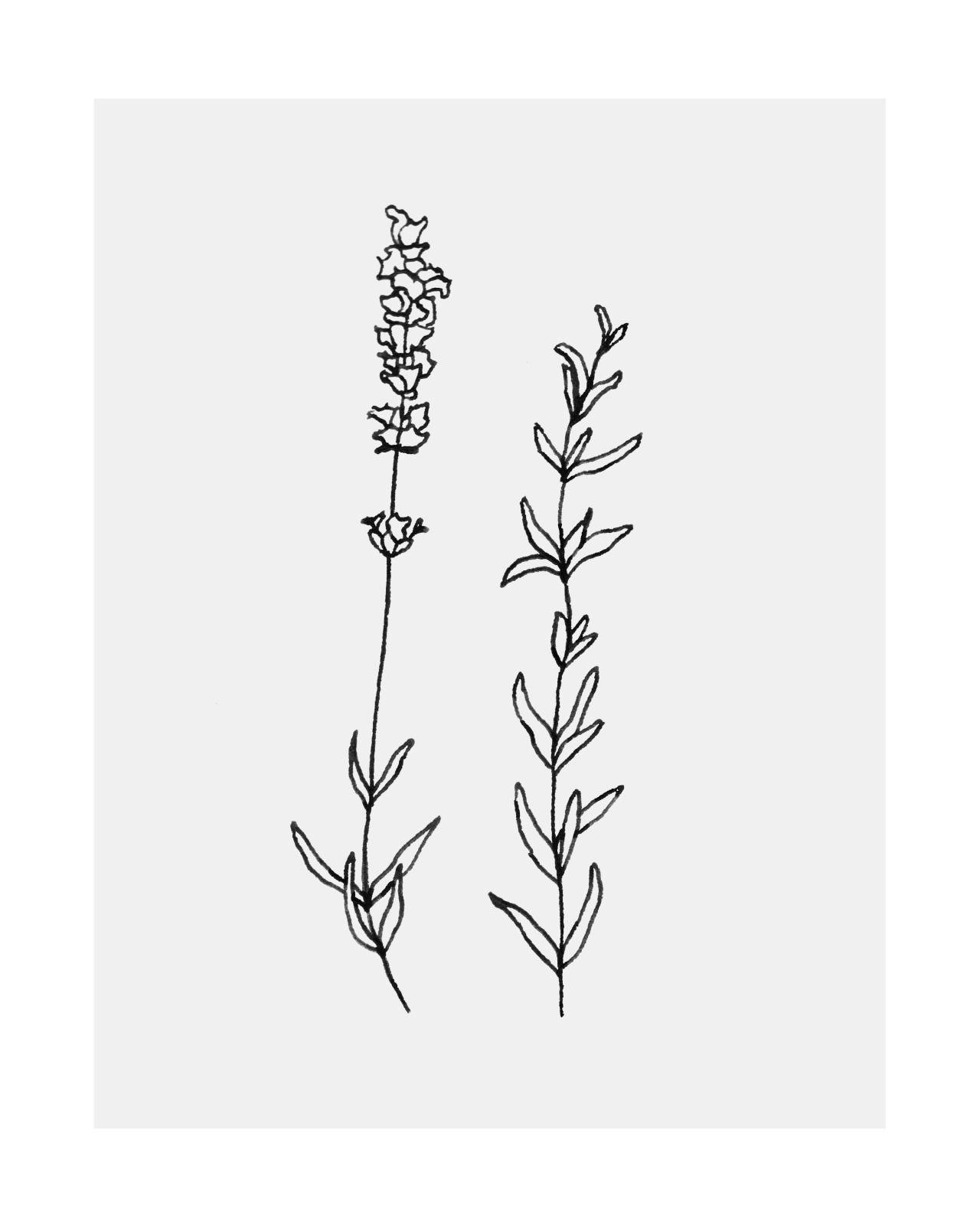 Lavender Drawing … | Pinteres… |Lavender Tattoo Outline