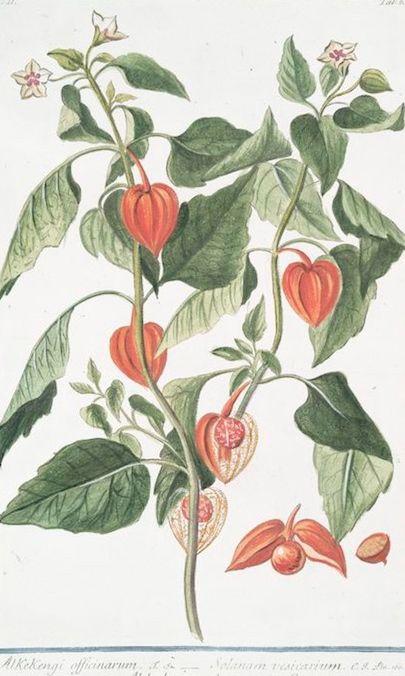 Chinese Lantern Plant Physalis Alkekengi Published 1816