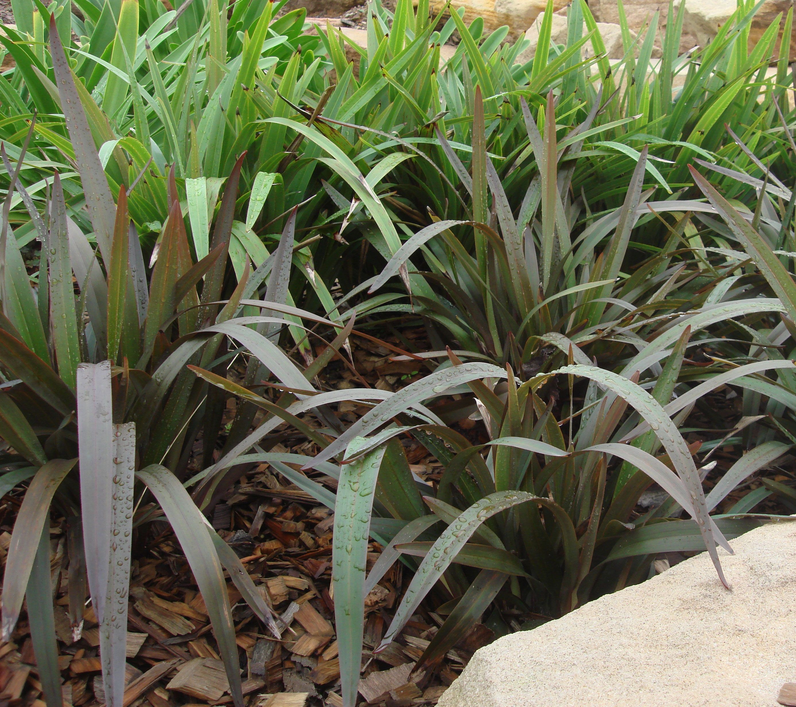 Blaze dianella is a heat tolerant strappy leaf plant with deep blaze dianella is a heat tolerant strappy leaf plant with deep purple foliage thecheapjerseys Image collections