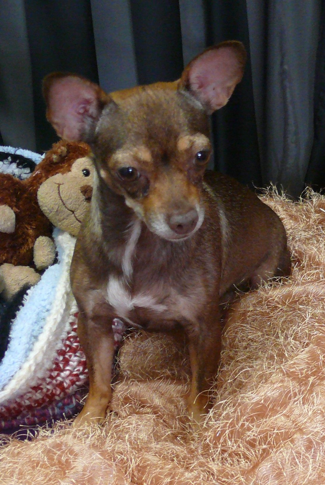 Daisy Is A 6 Year Old 7 Pound Purebred Chihuahua She S Very