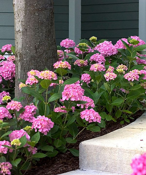 Look at this Let's Dance Moonlight Hydrangea Plant on #zulily today!
