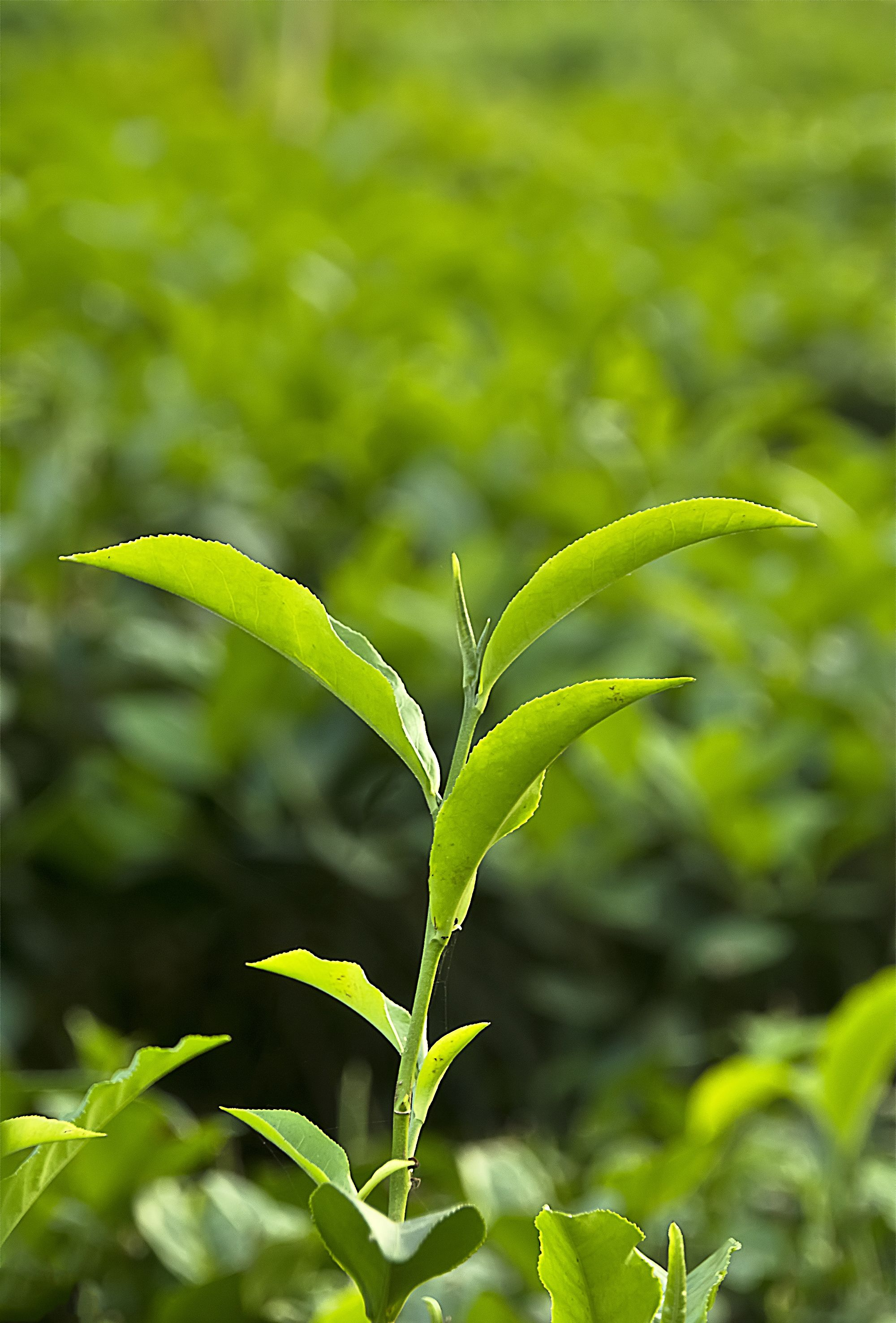 The Youngest Two Leaves And The Unopened Bud Are Picked To Produce The Highest Quality Teas Brewing Tea Bubble Tea Tea Plant